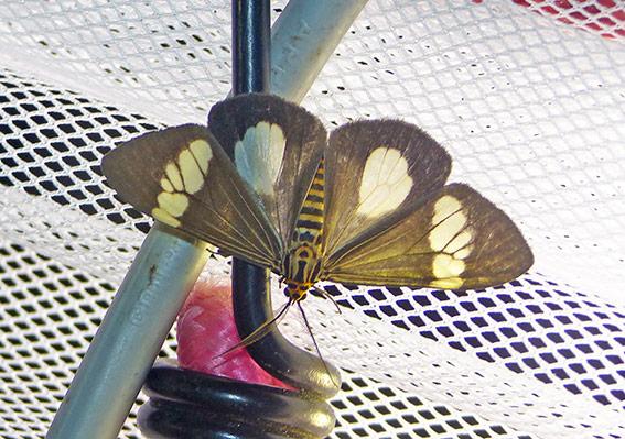 Nyctemera baulus