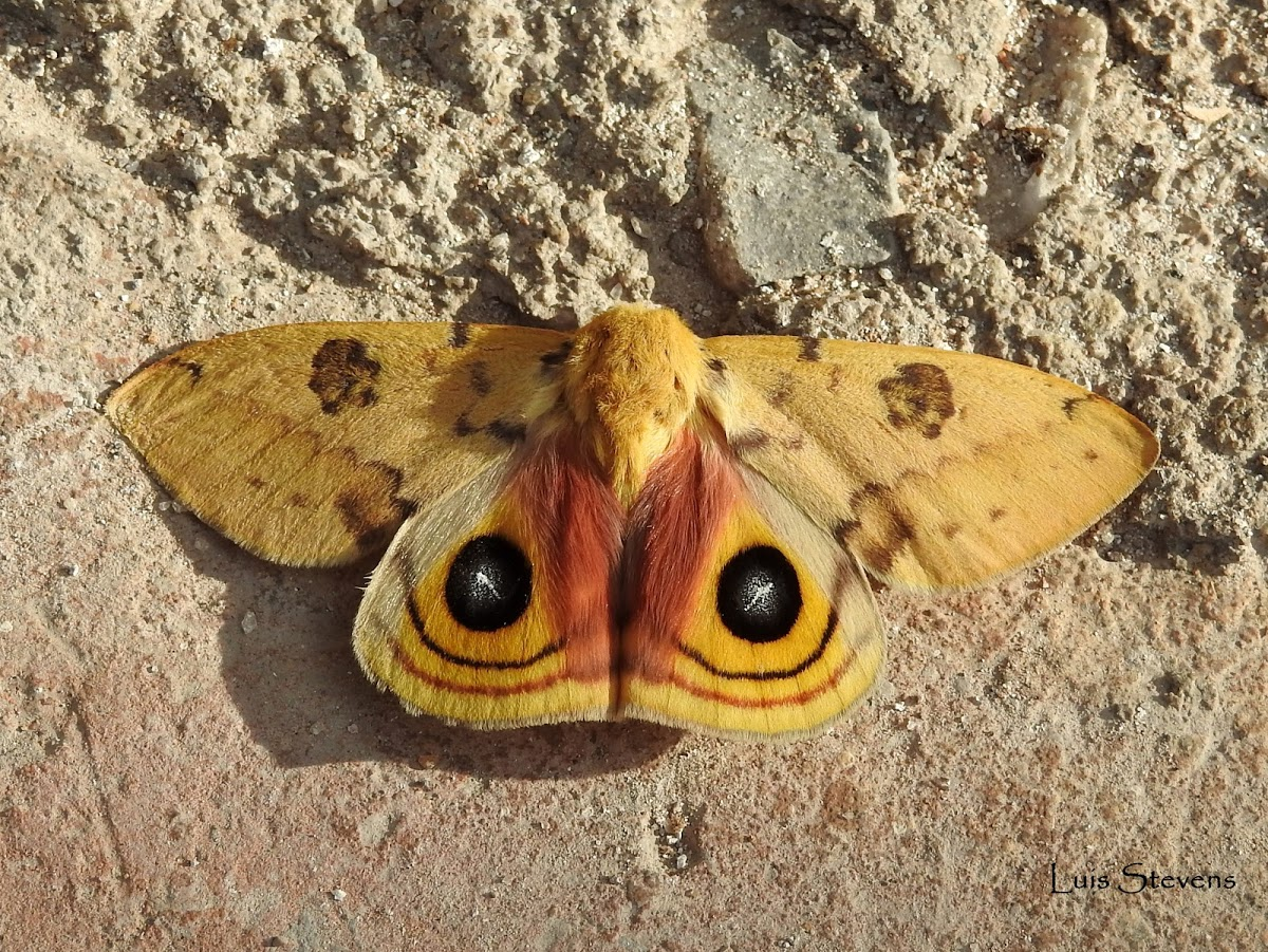 Io Moth (Automeris io), spotted by user LuisStevens. http://www.projectnoah.org/users/LuisStevens http://www.projectnoah.org/spottings/1763536005