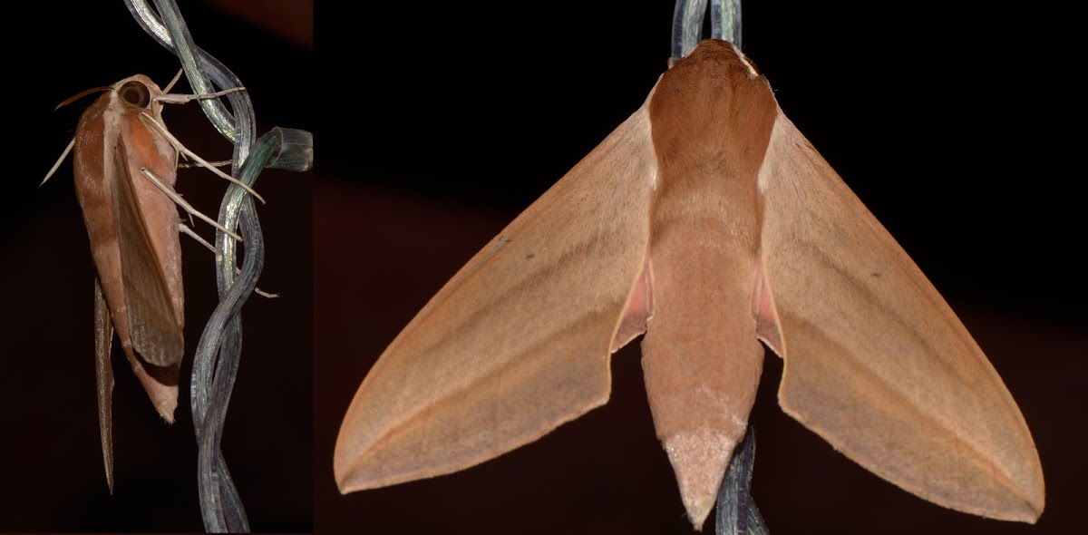 Levant Hawk Moth (Theretra alecto), spotted by user WimDeWeerdt. http://www.projectnoah.org/spottings/1753296003 http://www.projectnoah.org/users/WimDeWeerdt