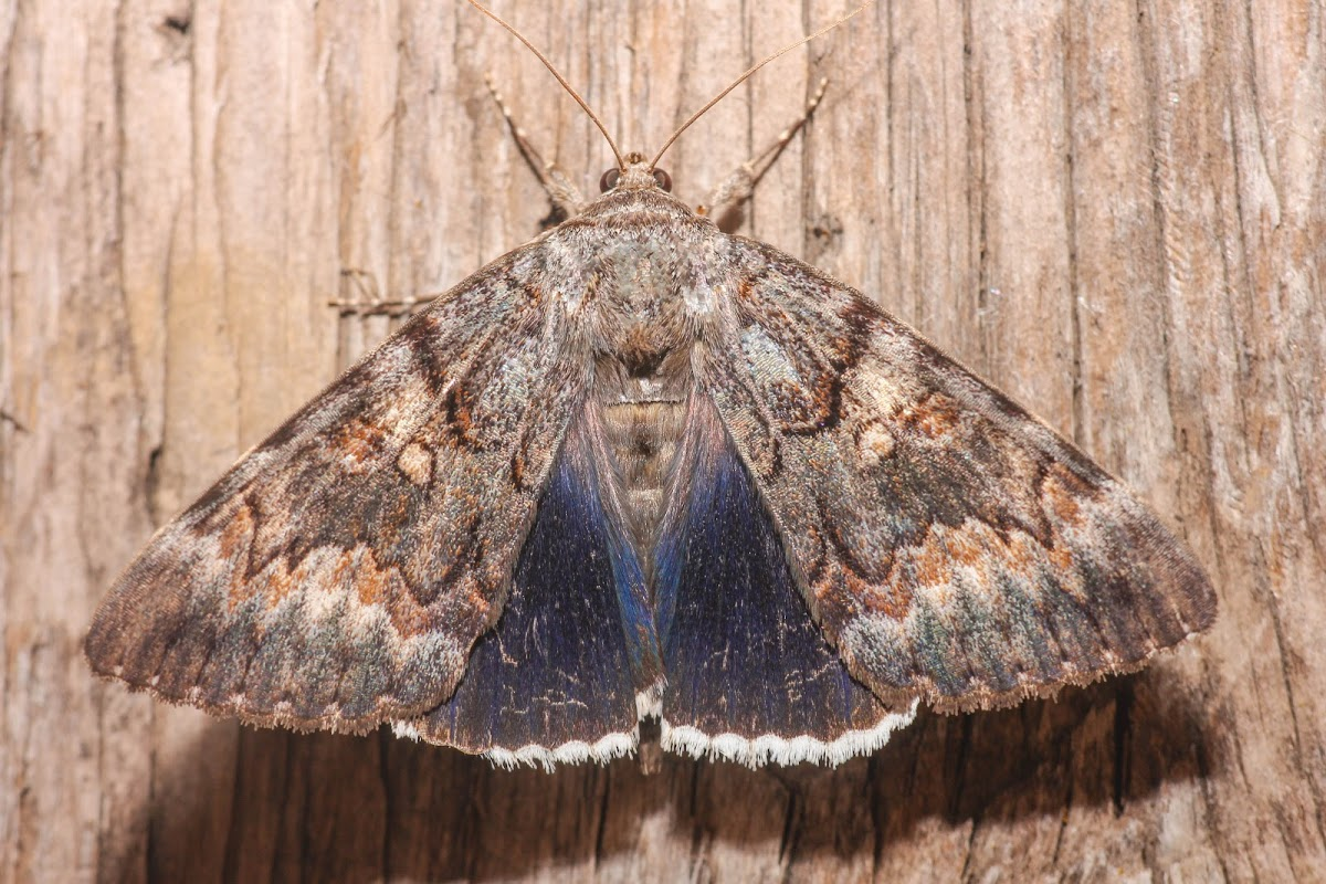 Epione Underwing (Catocala epione),  spotted by Project Noah user LuckyLogan.