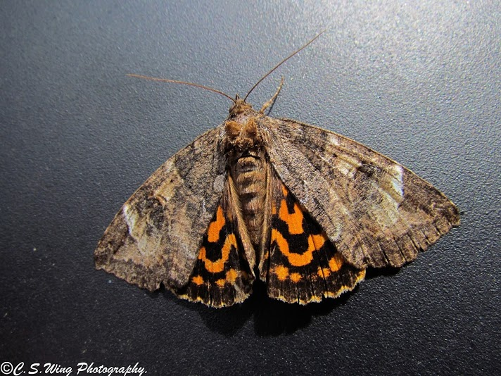 Locust Underwing (Euparthenos nubilis), spotted by user ConorSheaWing.