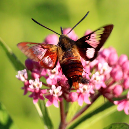 Hummingbird Clearwing Moth (Hemaris thysbe), spotted by user Joseph R. Godreau. http://www.projectnoah.org/spottings/1757746003 http://www.projectnoah.org/users/Joseph%20R.%20Godreau