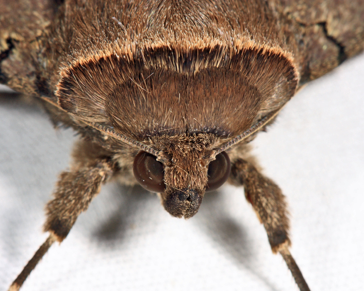 Darling Underwing (Catocala cara) spotted by Project Noah user Tom15.