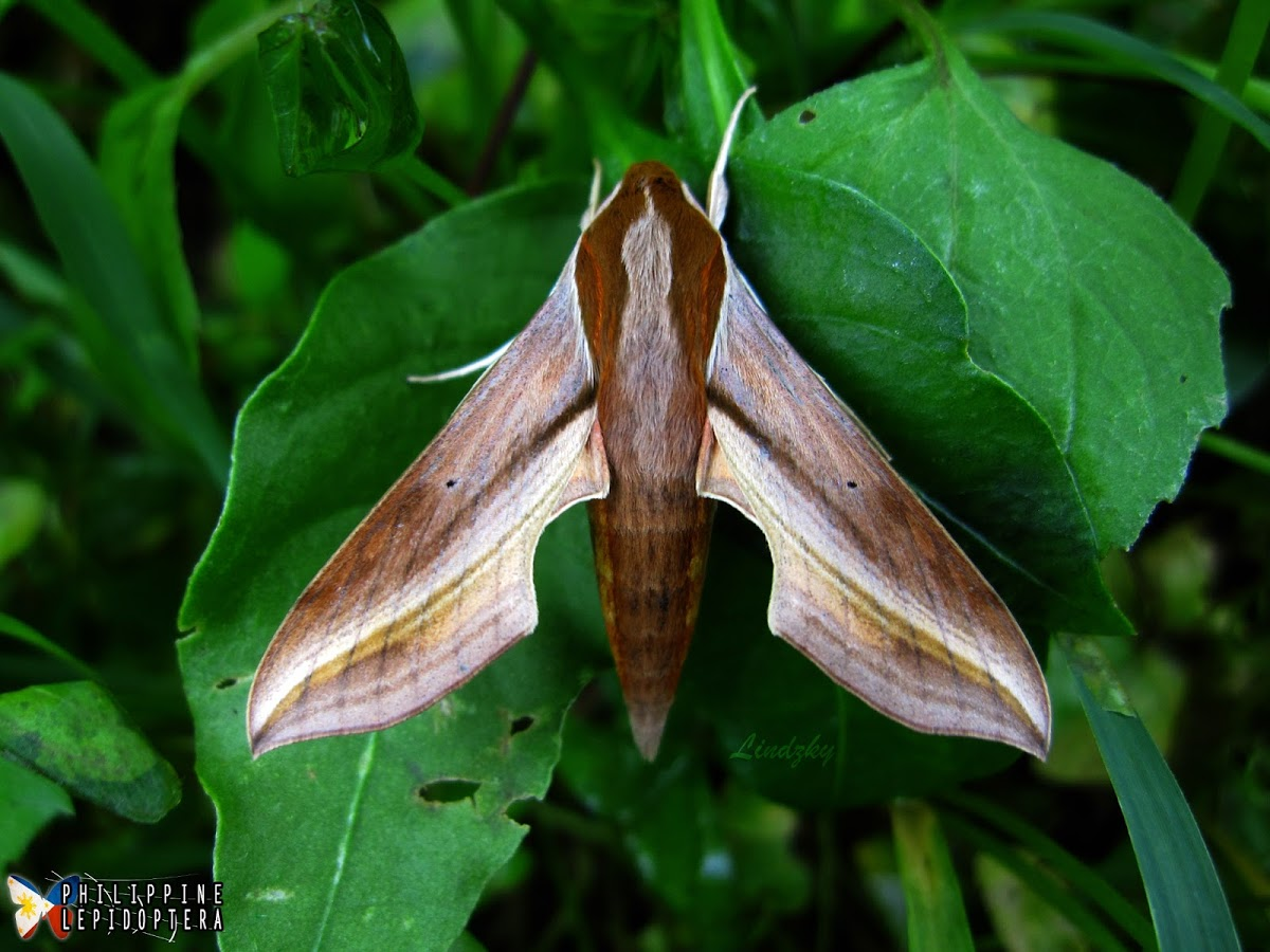 Hawk Moth (Hippotion rosetta) spotted by Philippine Lepidoptera. http://www.projectnoah.org/spottings/1755346002 http://www.projectnoah.org/users/Philippine%20Lepidoptera