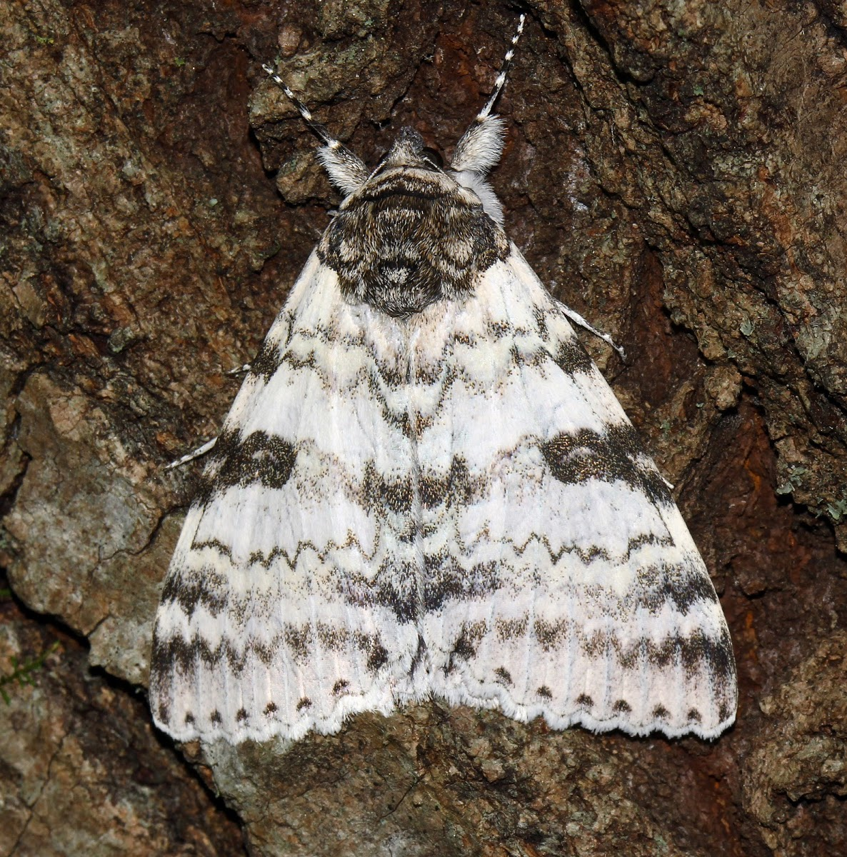 White Underwing (Catocala relicta), spotted by Project Noah user TomElliott.