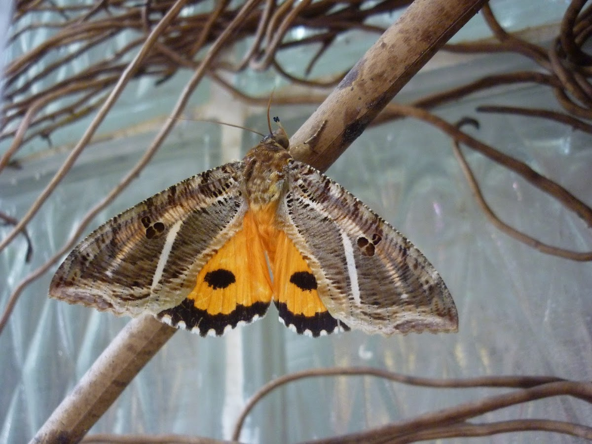 Fruit Piercing moth (Eudocima apta), spotted by Project Noah user Francisco Ramírez.