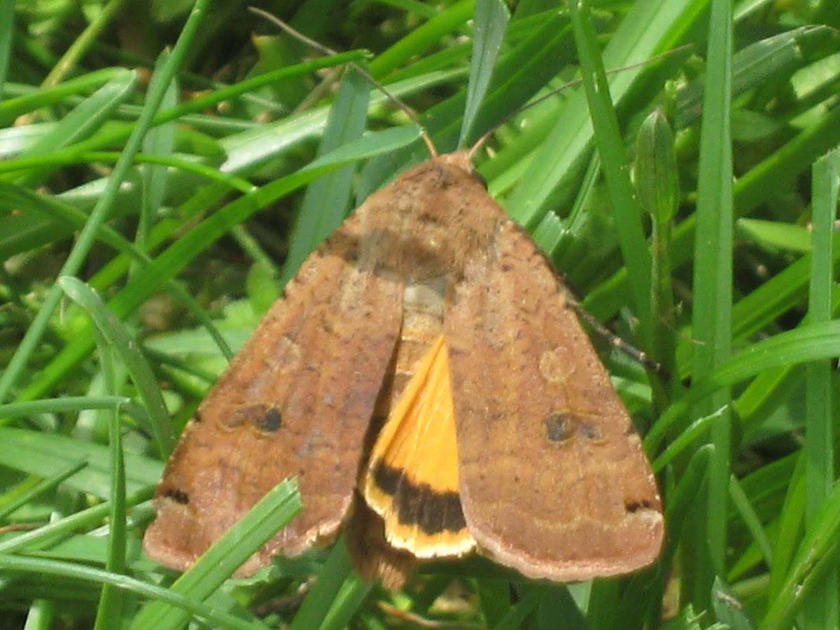 Large Yellow Underwing (Noctua pronuba), spotted by Project Noah user venusflytrap2000.