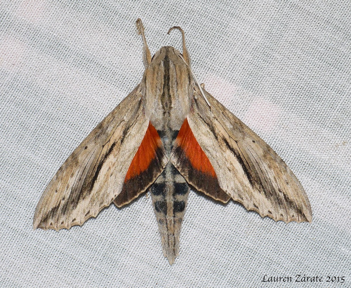 Ello Sphinx Moth (Erinnyis ello), spotted by Project Noah user LaurenZarate.  http://www.projectnoah.org/spottings/1750826002 http://www.projectnoah.org/users/LaurenZarate