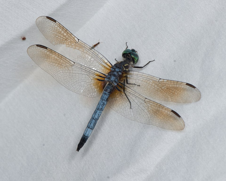 Blue Dasher. Photo: Betsy Betros