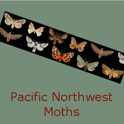 Pacific Northwest Moths