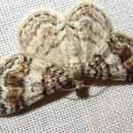 IMG_6911 chk. gray moths-ie large purplish gray-cmp