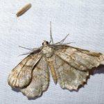 IMG_6932 moth-id later