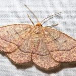 IMG_6936 moth-id later