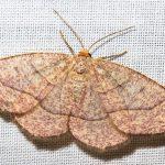 IMG_6936 moth-id later