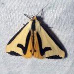 Haploa clymene tiger moth, by Sandra Lanman