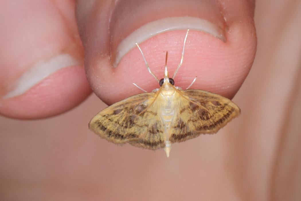 Pale-winged crocidophora