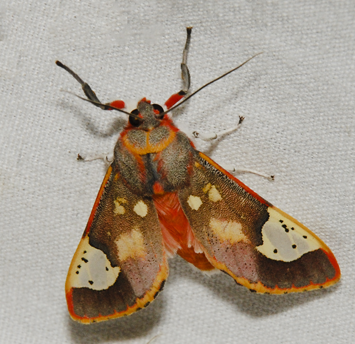 Tiger moth, Bertholdia trigona, spotted by user VanTruan at Project Noah.