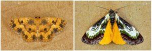 Geometridae and Ephithisanotia