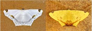 Nepheloleuca politia Sericoptera mahometaria
