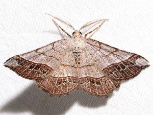 06272-Eumacaria madopata-Brown bordered Geometer. Photo: Ken Childs