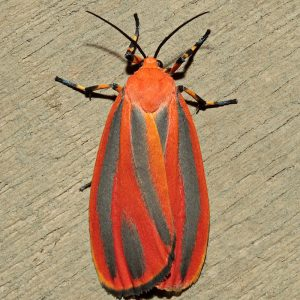 Hypoprepia miniata-Scarlet winged Lichen Moth. Photo: KenChilds