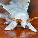 """Artace cribraria (Dot Line White Moth). This photo that Gylma says """"Look like a cuddly puppy with 1960's glasses"""" was spotting of the day on Project Noah."""