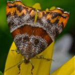 Hemerophila xutholope. This tinhy Day Moth was National Geographic spotting of the Day
