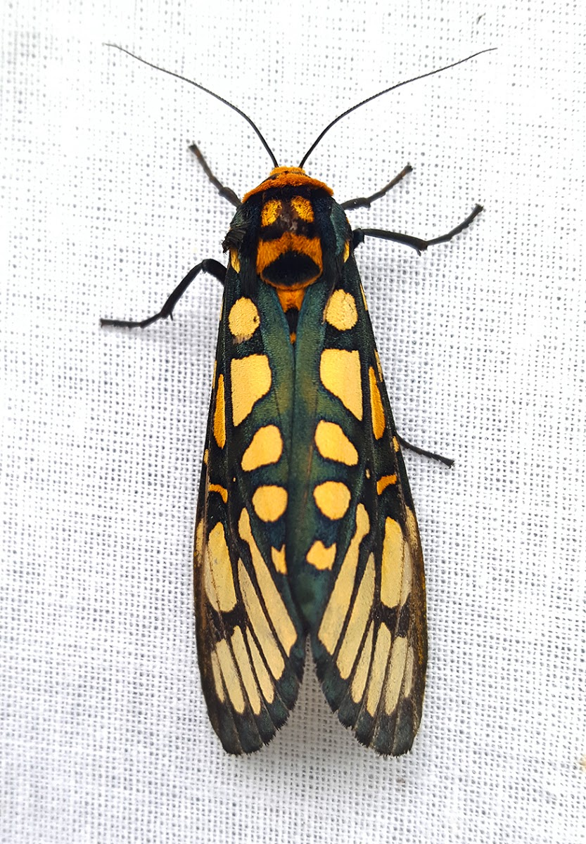 Aglaomorpha plagiata, a tiger moth spotted by Project Noah user DrNamgyalT.Sherpa.