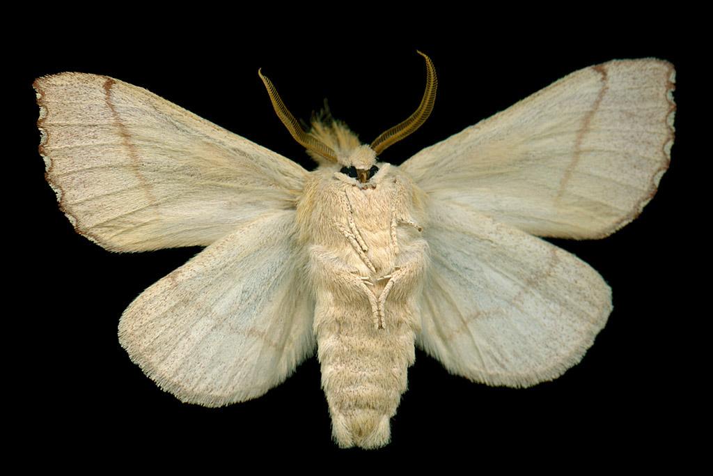 White-Dotted Prominent (Nadata gibbosa)