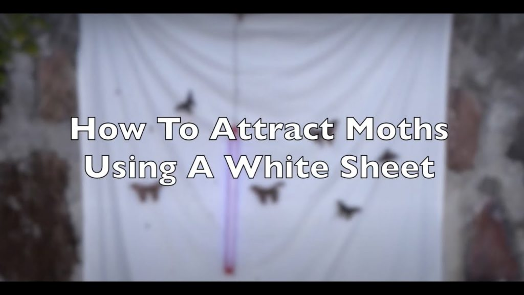 Go Mothing! Attract Moths with a White Sheet